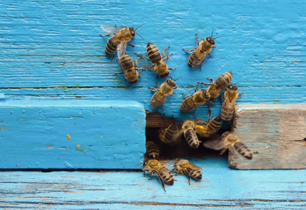 Pownall Fee bee infestation removal
