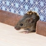 Tytherington mice & rat control