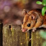 Wardle mice & rat control