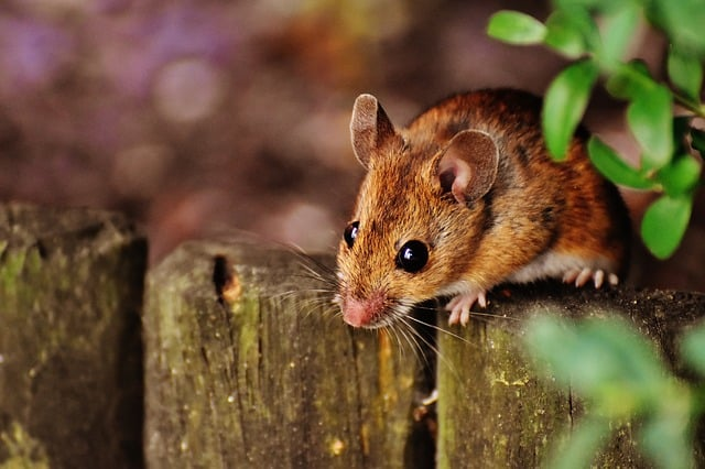 Broadheath mice & rat control