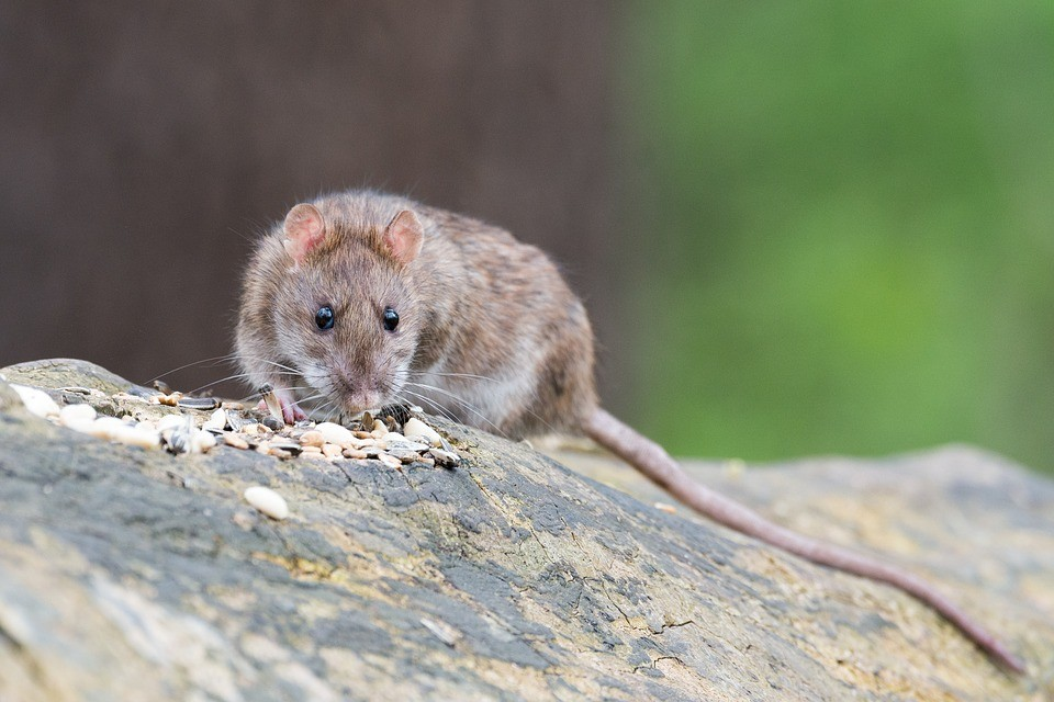 Rats And Rodents Extermination.