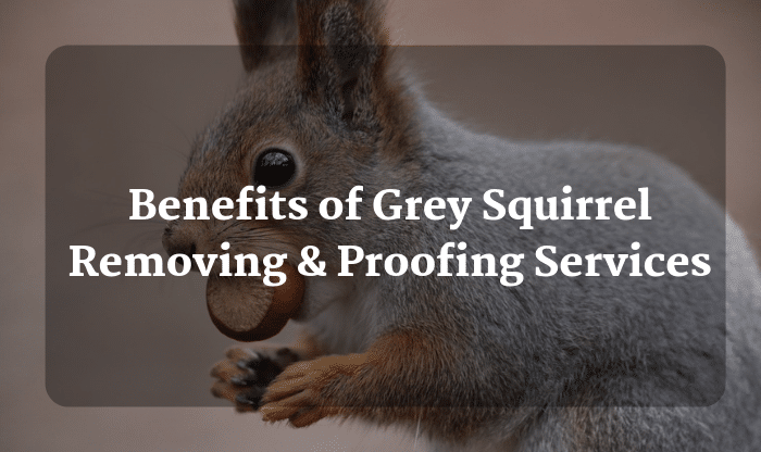 Benefits of Grey Squirrel Removing &Proofing Services