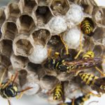 Broadbottom Wasp nest removal