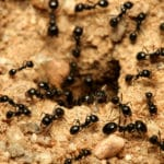 Higher Green ant control