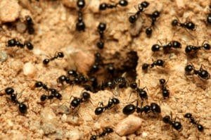 Ant Nest Removal Service