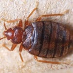 Denshaw Bed Bug Removal