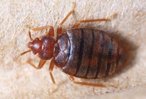 Bed Bug Infestation Removal