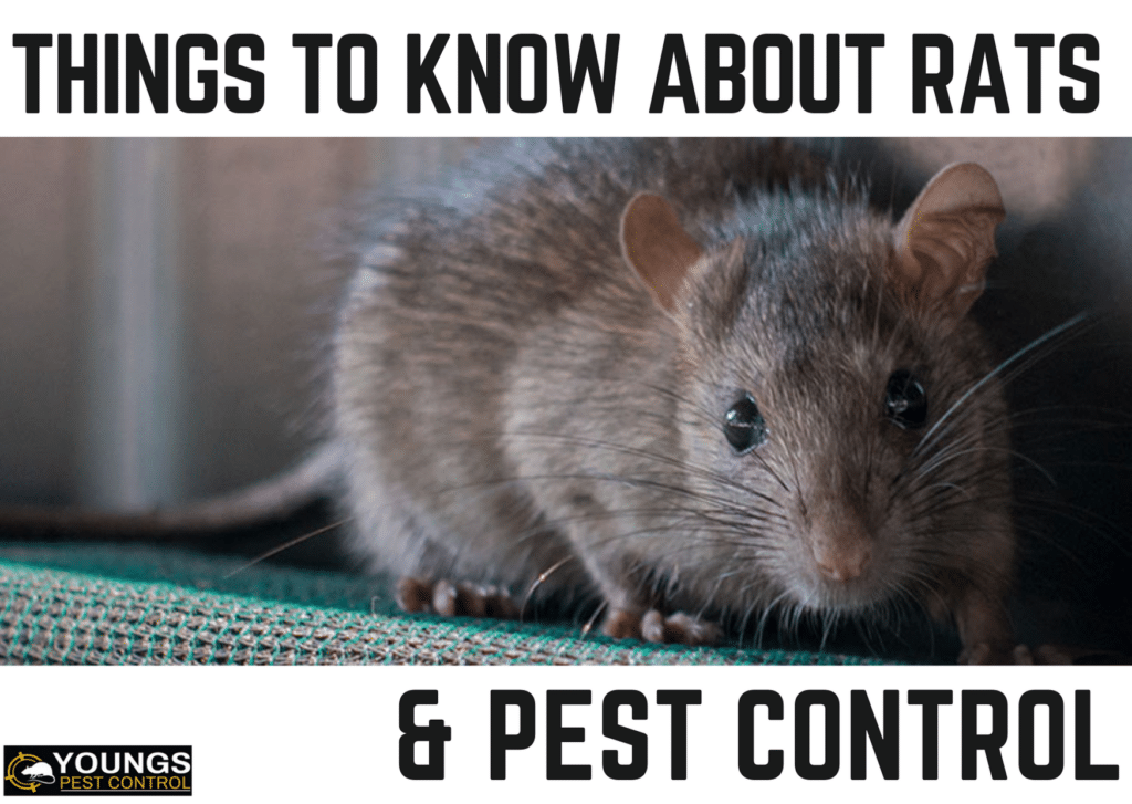 Things to Know About Rats & Pest Control
