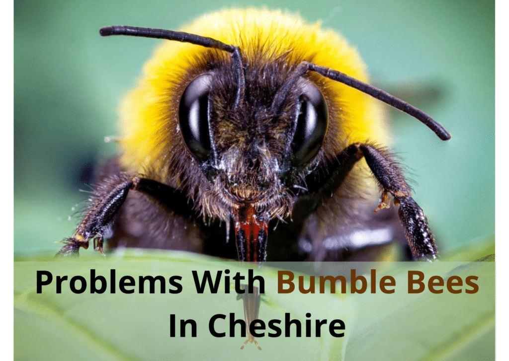 Problems With Bumble Bees In Cheshire