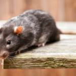 Withington Green mice and rat control